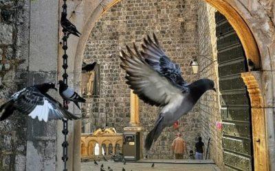 Do you like pigeons?